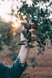 Donna nel giardino della Provenza con di olivo Fotografia Stock Libera da Diritti