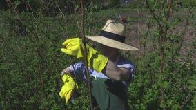 Donna nelle piante del lampone stock footage