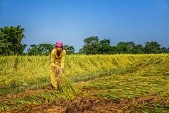 Donna nepalese che lavora in un giacimento del riso Fotografia Stock Libera da Diritti