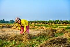 Donna nepalese che lavora in un giacimento del riso Fotografie Stock Libere da Diritti