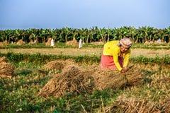 Donna nepalese che lavora in un giacimento del riso Fotografia Stock