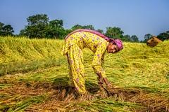 Donna nepalese che lavora in un giacimento del riso all'alba Fotografia Stock Libera da Diritti