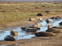 Donna Nook grey seal colony Stock Images