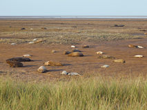 Donna Nook Grey Seal Colony Lincolnshire Uk Royalty Free Stock Photography