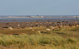Donna Nook Seal Colony. The Seal Colony at Donna k in Lincolnshire England royalty free stock photo