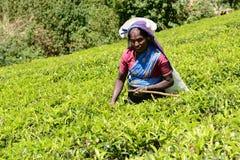 Donna per raccogliere il tè via sulle piantagioni di tè Fotografia Stock Libera da Diritti