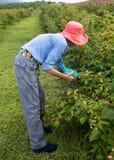Donna più anziana snella in cappello rosa scuro che seleziona i lamponi in un frutteto fotografia stock