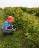 Donna più anziana snella in cappello rosa scuro che seleziona i lamponi in un frutteto immagine stock libera da diritti