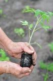 Donna senior che pianta una piantina del pomodoro Fotografia Stock Libera da Diritti