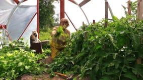 Donna senior con le piante di pomodori dell'erbaccia dell'animale domestico del gatto in serra video d archivio