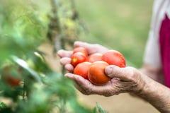 Donna senior irriconoscibile in suoi pomodori della tenuta del giardino immagini stock