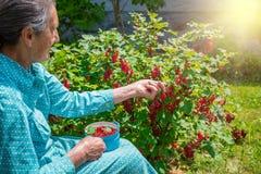 Donna senior nel suo giardino che seleziona i ribes nostrani fotografie stock libere da diritti