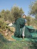 Donna sul lavoro, rete nella campagna per la raccolta del oliv Immagine Stock