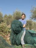 Donna sul lavoro, rete nella campagna per la raccolta del oliv Fotografia Stock Libera da Diritti