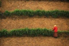 Donna in vestito rosso che raccoglie sull'azienda agricola Immagini Stock