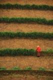 Donna in vestito rosso che raccoglie sull'azienda agricola Immagine Stock