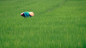Donna vietnamita nel giacimento del riso fotografie stock
