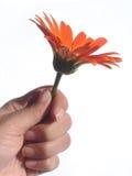 Donnant une fleur - d'isolement photo libre de droits