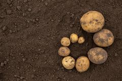 Donne à l'abondance une consistance rugueuse des pommes de terre non épluchées fraîches moissonnées du fi Image stock