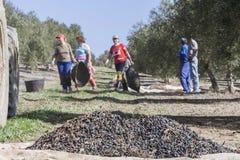 Donne agricoltori durante la campagna di oliva in un campo di oliva Fotografie Stock