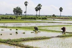 Donne ai risaia-tiri ditrapianto Immagini Stock Libere da Diritti
