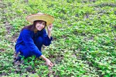 Donne asiatiche che lavorano nel giacimento dell'arachide Fotografie Stock Libere da Diritti