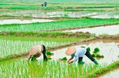 Donne asiatiche nei giacimenti del riso Immagini Stock