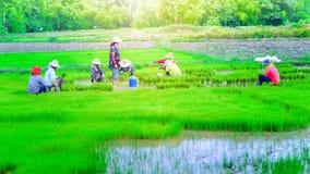 Donne asiatiche sul lavoro in una risaia immagine stock