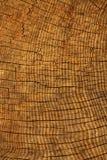 Donne au chêne une consistance rugueuse d'arbre Photo libre de droits