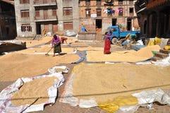 Donne che asciugano riso Fotografia Stock