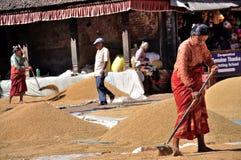 Donne che asciugano riso Immagini Stock Libere da Diritti