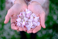Donne che giudicano i fiori di ciliegia disponibili Immagini Stock Libere da Diritti