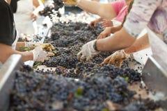 Donne che ordinano l'uva scura sulla cinghia del trasporto, fabbricazione di vino fotografie stock