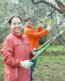 Donne che potano di melo in frutteto Fotografia Stock