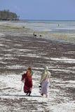 Donne che raccolgono alga, spiaggia di Uroa, Zanzibar, Tanzania Fotografia Stock Libera da Diritti