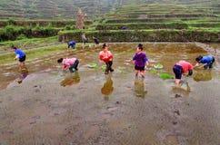 Donne cinesi che piantano riso nel giacimento del riso, stante in acqua. Immagine Stock Libera da Diritti