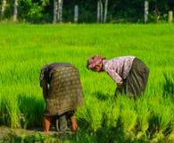 Donne khmer che lavorano al giacimento del riso Fotografia Stock Libera da Diritti