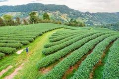 Donne turistiche in mezzo di bello naturale sulla piantagione di tè verde Immagini Stock