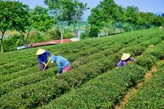 Donne vietnamite che lavorano nei campi del tè immagini stock libere da diritti