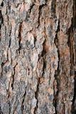 Donnez à l'écorce une consistance rugueuse d'arbre de pin Photo libre de droits