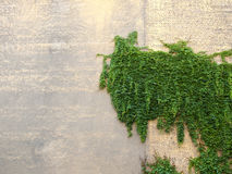 Donnez au mur de briques une consistance rugueuse, fond, modèle détaillé couvert dans le lierre photos libres de droits