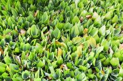 Donnez aux pousses une consistance rugueuse fraîches vertes de jeune usine des lis unblown de la vallée avec les feuilles vertes  Image stock
