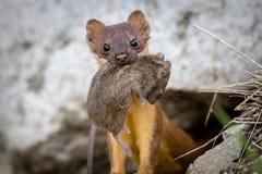 Donnola munita lunga con il topo Immagini Stock
