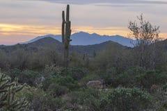 Donoran Desert with Saguaro royalty free stock photo