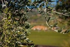Donoratico, Castagneto Carducci Livorno, Tuscany, - zdjęcie royalty free