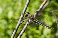 Donsachtig Emerald Dragonfly, Cordulia-aenea, Wijfje stock foto's