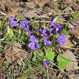 Donsachtig viooltje (Altvioolhirta) stock afbeelding