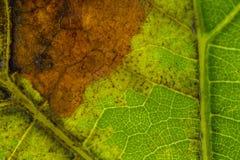 Donsachtige schimmel op druivenblad stock afbeelding