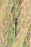 Donsachtige Smaragdgroene (aenea Cordulia) libel Stock Afbeeldingen