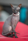Donskoy cat. On a red background Stock Image